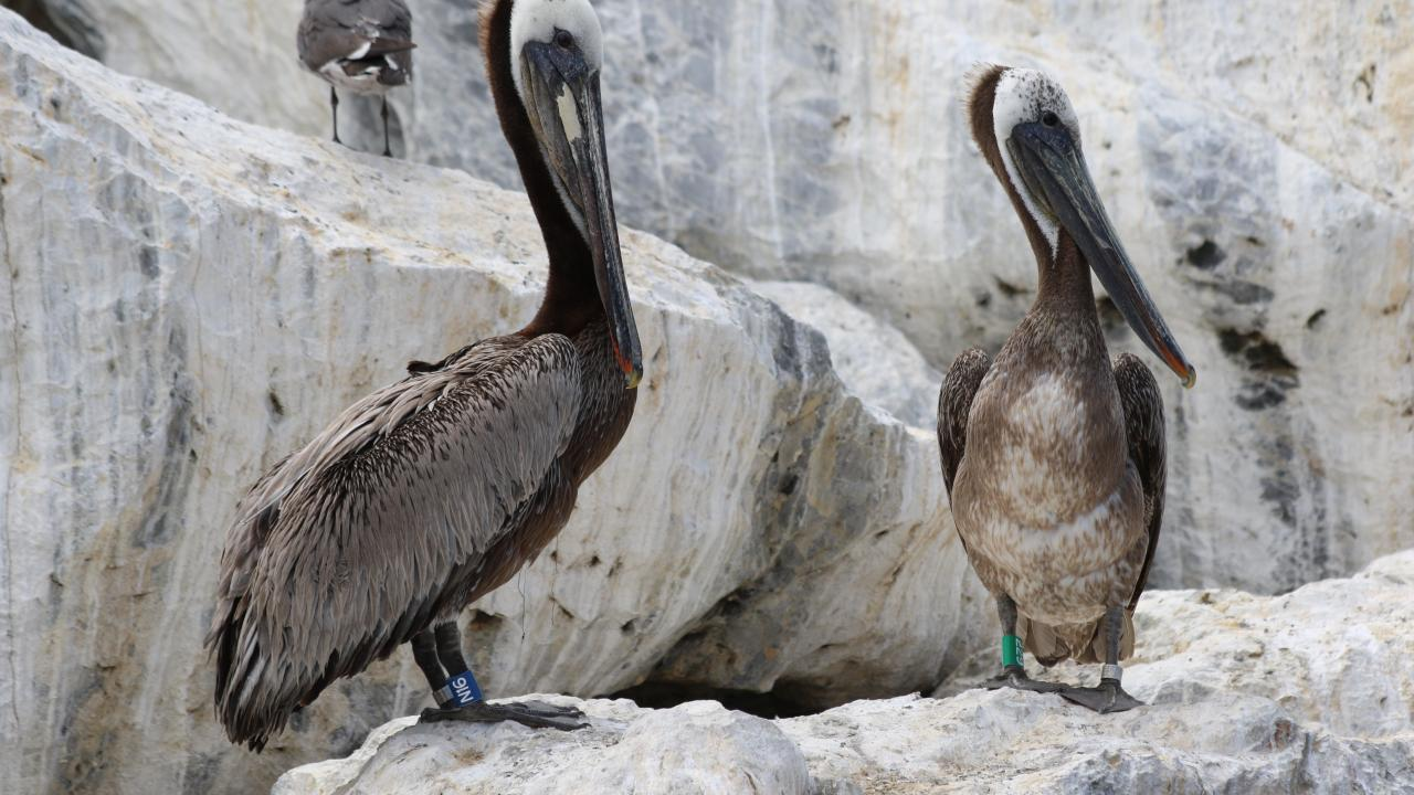two banded brown pelicans